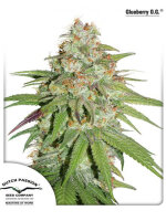 Dutch Passion - Glueberry OG Feminised Cannabis Seeds