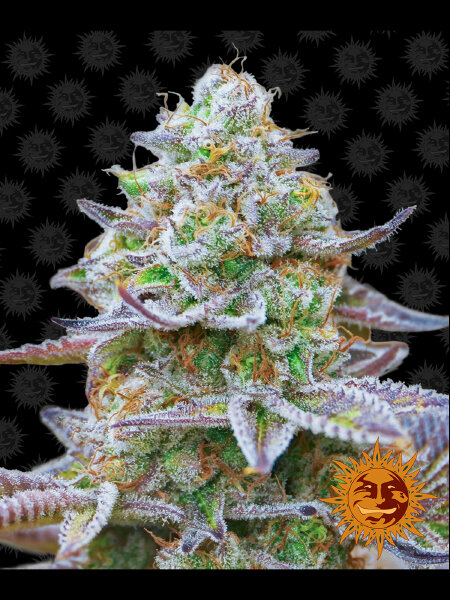 Barneys Farm - Gorilla Zkittlez Feminised Cannabis Seeds