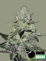 Bomb Seeds - Gorilla Bomb Feminised Cannabis Seeds