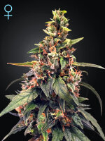 Green House Seeds - Great White Shark CBD Feminised Cannabis Seed