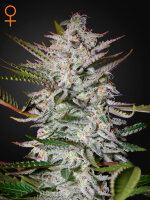 Greenhouse Seeds - Holy Punch Feminised Cannabis Seeds