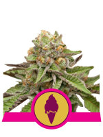 Royal Queen Seeds - Green Gelato Feminised Cannabis Seeds