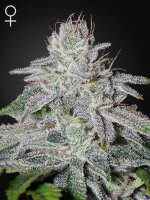 Green House Seeds - Franco's Lemon Cheese Feminised Cannabis Seeds