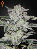 Green House Seeds - Sweet Valley Kush Feminised Cannabis Seeds