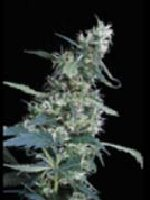 Green House Seeds - Arjan's Ultra Haze #1 Feminised Cannabis Seeds