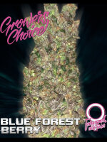 Growers Choice - Blue Forestberry Auto Feminised Autoflowering Cannabis Seeds