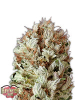 Heavyweight Seeds - Extreme Impact Auto Feminised Autoflowering Cannabis Seeds