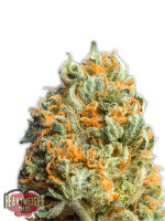 Heavyweight Seeds - Fully Loaded Auto Feminised Autoflowering Cannabis Seeds