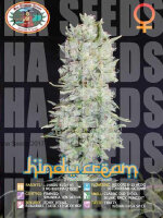 Big Buddha Seeds - Hindu Cream Feminised Cannabis Seeds