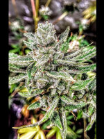 Holy Smoke Seeds - Durban Apricot Sherbert Feminised Cannabis Seeds