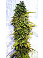 Holy Smoke Seeds - London OG Feminised Cannabis Seeds 6 Pack