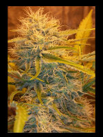 Holy Smoke Seeds - Tre Banana Dawg Feminised Cannabis Seeds 6 Pack