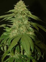 DNA Genetics - Holy Grail Kush Single Feminised Cannabis Seeds