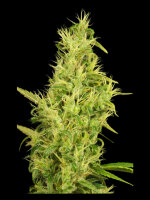 House of the Great Gardener - Sunshine 6 Feminised Cannabis Seeds