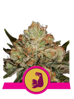 Royal Queen Seeds - Hulk Berry Feminised Cannabis Seeds