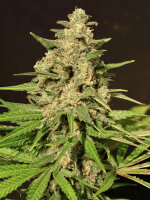 Cream of the Crop - Hybrid X Feminised Single Cannabis Seed