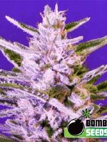 Bomb Seeds - Ice Bomb Feminised Cannabis Seeds