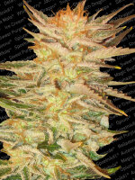 Paradise Seeds - Ice Cream Feminised Cannabis Seeds