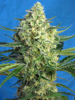 Sweet Seeds - Jack 47 XL Auto - Autoflowering Cannabis Seeds