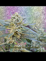 Dr Krippling Seeds - Jamnesia Haze Feminised Cannabis Seeds
