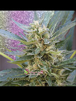 Dr Krippling Seeds - Jumping Jack Dash Auto Feminised Autoflowering Cannabis Seeds