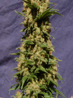Kannabia Seeds - Kiss Feminised Cannabis Seeds
