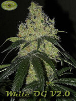 Karma Genetics - White OG 6 Feminised Cannabis Seeds