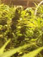 K C Brains - Bahia Blackhead Regular Cannabis Seeds