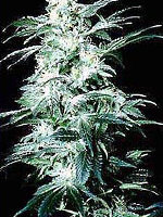 K C Brains - Northern Lights Special Regular Cannabis Seeds