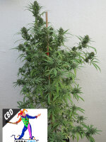 Kera Medical - CBD Harlequin Feminised Cannabis Seeds