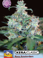 Kera Classic - Amsterdam Cheese Feminised Cannabis Seeds (was Crazy Mouse)