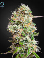 Green House Seeds - Auto King's Kush CBD Autoflowering Feminised Cannabis Seeds