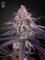 Green House Seeds - King's Juice Feminised Cannabis Seeds