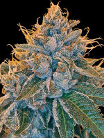 Reserva Privada - Kosher Kush Feminised Single Cannabis Seed