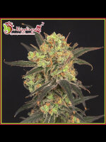 Dr Krippling - Lesuire Zoot Larry - Feminised Cannabis Seeds