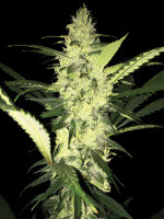 T H Seeds - LA S.A.G.E. Feminised Cannabis Seeds