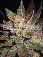 Expert Seeds - Lavandula Feminised Cannabis Seeds