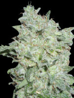 World Of Seeds Legend - Afghan Kush Special Feminised Cannabis Seeds