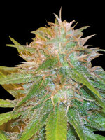 World Of Seeds Legend - Chronic Haze Feminised Cannabis Seeds