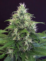 Exotic Seeds - Lemon Candy Feminised Cannabis Seeds