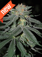 Cream of the Crop - Lemon Venom Feminised Single Cannabis Seed