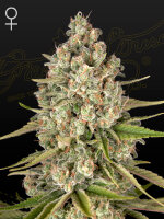 Green House Seeds - Lost Pearl Feminised Cannabis Seeds