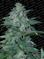 Paradise Seeds - Magic Bud Feminised Cannabis Seeds