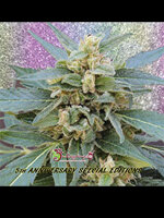 Dr Krippling Seeds - Mango Bubble Cloud Feminised Cannabis Seeds