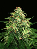 Exotic Seeds - Mango Cream Regular Cannabis Seeds