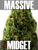 Heavyweight Seeds - Auto Massive Midget Feminised Autoflowering Cannabis Seeds