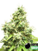 Bomb Seeds - Medi Bomb #1 Feminised Cannabis Seeds