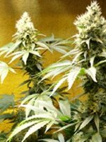Medicann Seeds - Afghani Regular Cannabis Seeds