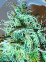 Medicann Seeds - Black Afghani Kush Feminised Cannabis Seeds