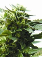 Medicann Seeds - Bubba Kush Feminised Cannabis Seeds